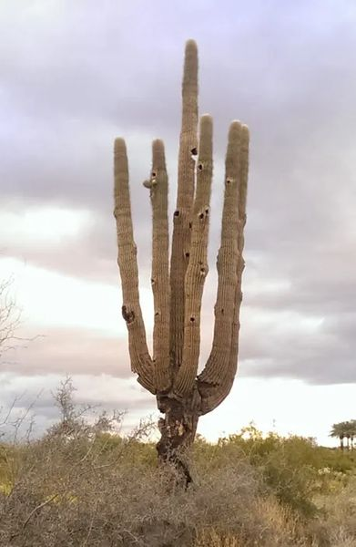 Photo of And old saguaro, with lots of old bird nests, in Arizona